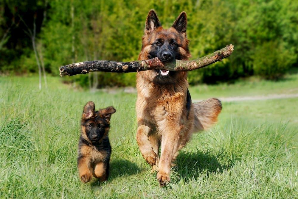 Shepherd Dog personality