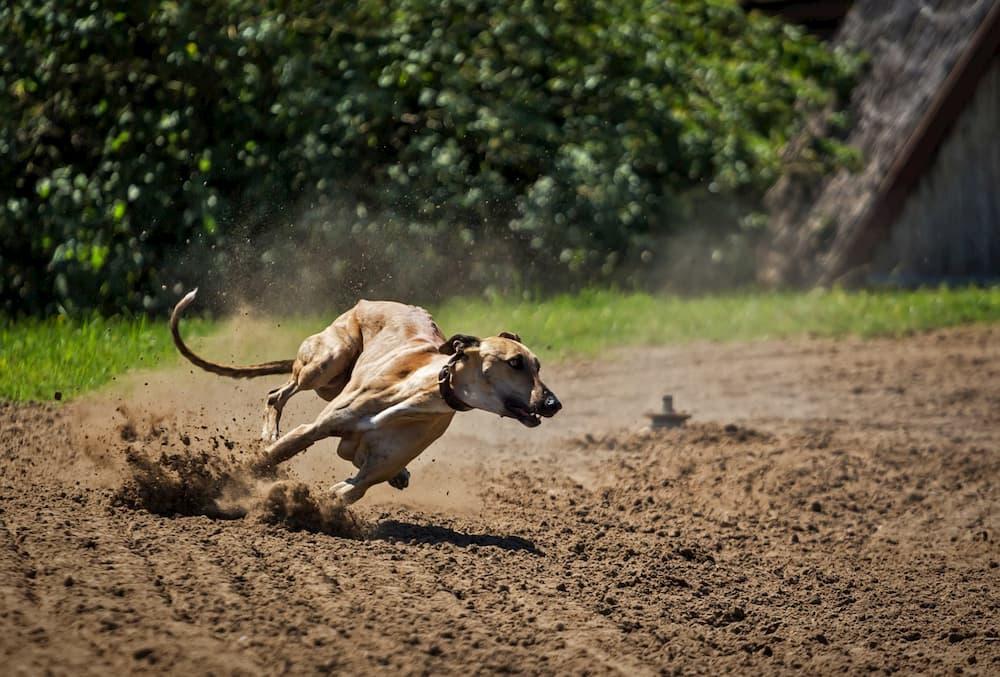 greyhound dogs breeds