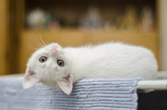 kitten lying